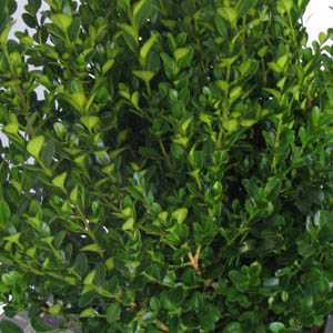 Buxus Sempervirens Box Hedging 40-50cm 5ltr