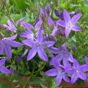 Campanula Poscharskyana Blue Waterfall 3 Ltr