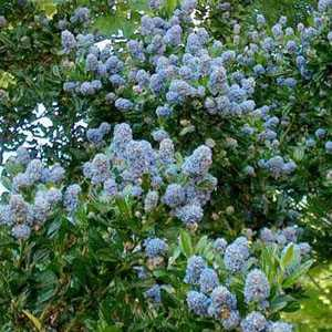 cheap ceanothus blue mound online cheap evergreen shrubs. Black Bedroom Furniture Sets. Home Design Ideas