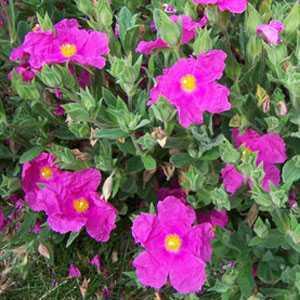 Cistus Pulverulentus Sunset (Rock Rose)