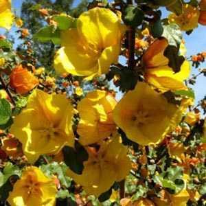 Fremontodendron Californicum 'California Glory' (Flannel Bush)