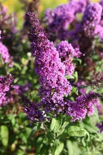 Buddleia (Buddleja) Davidii 'Peacock' (Butterfly Bush)