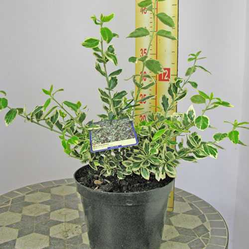 Euonymus Fortunei Silver Queen (Spindle Silver Queen) 2ltr