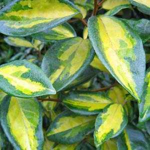 Cheap Elaeagnus Ebbingei Gilt Edge Buy Evergreen Shrubs