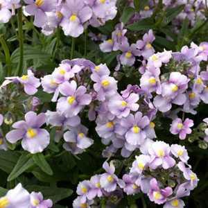 Nemesia Utopia 'Lavender' 3Ltr