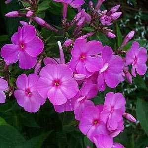 Phlox Paniculata Famous Light Purple