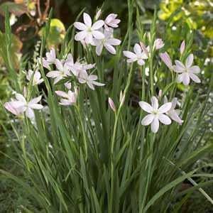Schizostylis 'Pink Princess' (Kaffir lily)3 Ltr