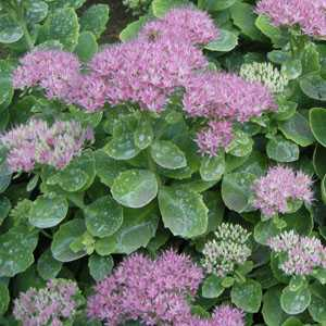 Cheap Sedum Perennial Plants Online Sedum Plants For