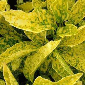 Aucuba Japonica Goldstrike (Spotted Laurel Hedge)