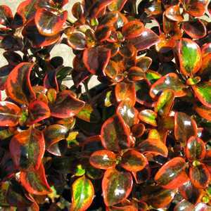 Buy Coprosma Tequila Sunrise Cheap Coprosma Plants