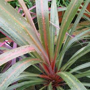 Cordyline Australis Peko (Cabbage Tree) 3 Ltr