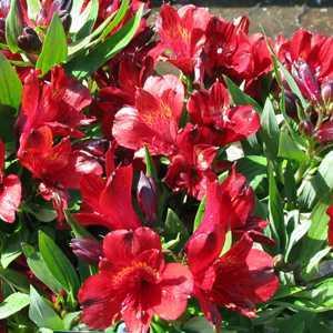 Alstroemeria Inticancha Red 3Ltr