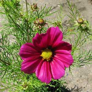 Cosmos (Deep Pink) 13cm Pot