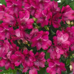 Alstroemeria Inticancha Machu 3 Ltr
