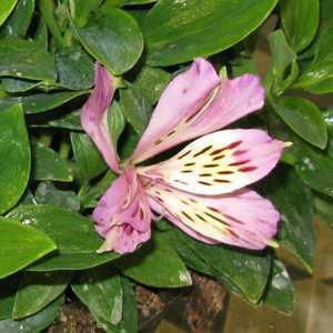 Alstroemeria Inticancha Navayo