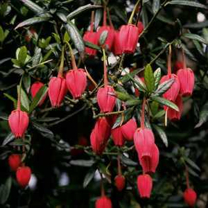 Crinodendron Hookerianum (Lantern Tree) 3 Ltr