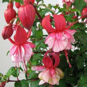 Fuchsia Prosperity 3ltr