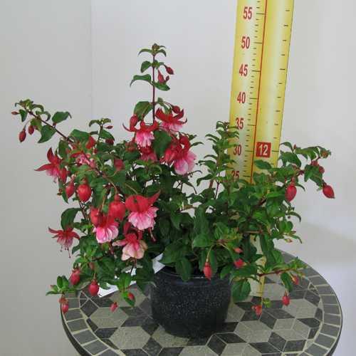 Fuchsia 'Prosperity' 3 Ltr