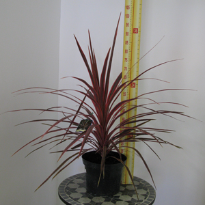 Cordyline Australis Pink Stripe (Cabbage Palm) 7.5Ltr