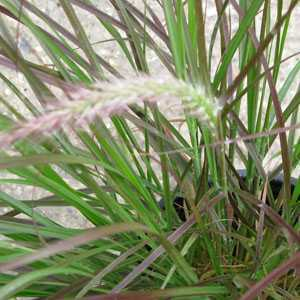 Cheap pennisetum rubrum compact buy pennisetum rubrum for Ornamental grass with purple plumes