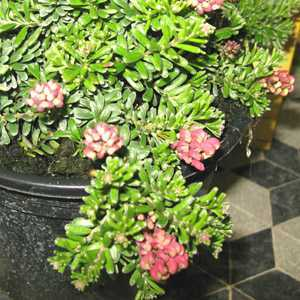 Grevillea lanigera 'Mount Tamboritha' 3Ltr