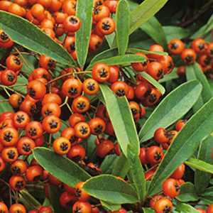 Pyracantha 'Orange Glow' Hedging Plant (Firethorn) 3Ltr