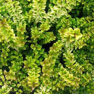 Lonicera Nitida Twiggy Shrub Honeysuckle 3ltr