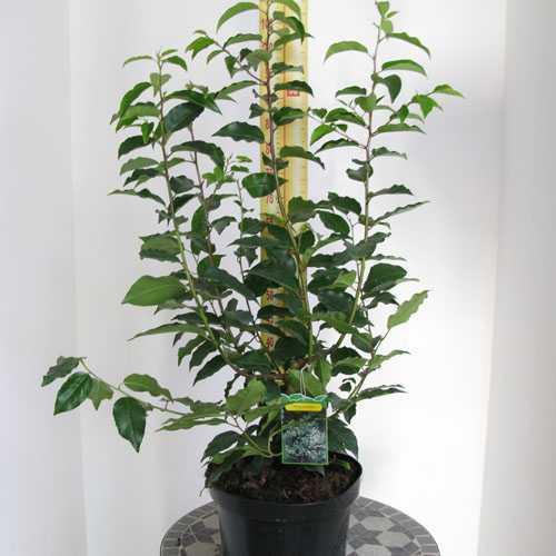 Portuguese Laurel Hedging (Prunus Lusitanica) 80-100cm 10Ltr