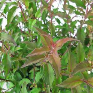 Fuchsia Hawkshead 2Ltr