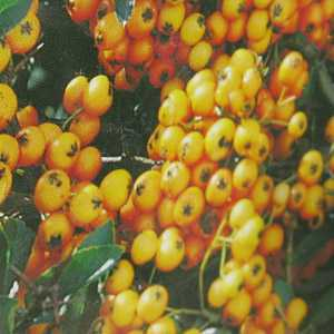 Pyracantha 'Golden Charmer' Hedging Plant (Firethorn)