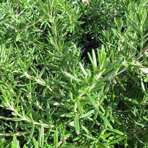 Rosmarinus (Rosemary) officinalis 'Tuscan Blue'