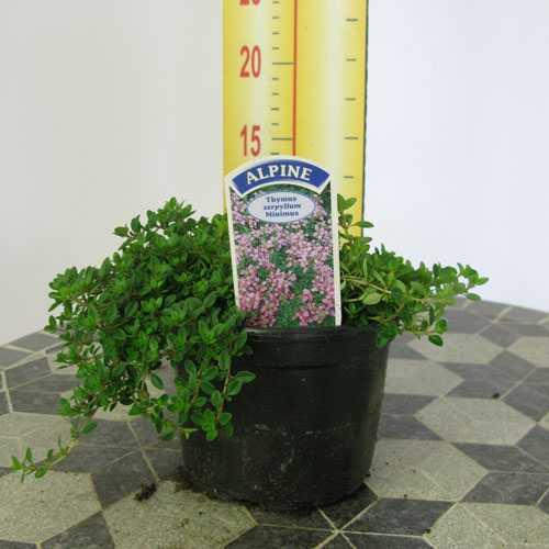 Thymus Serpyllum Minimus (Thyme) Alpine Plant