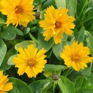 Coreopsis Grandiflora 'Presto' 2 Ltr