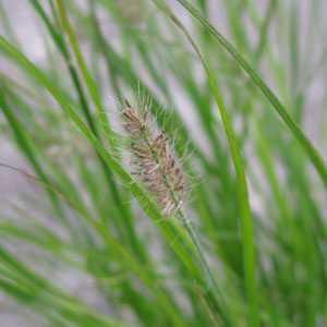 Pennisetum Alopecuroides Little Bunny (Dwarf Fountain Grass)