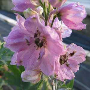 Delphinium grandiflorum 'Summer Morning' 2Ltr Pot