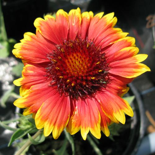Cheap Gaillardia Arizona Sun Online Cheap Perennial