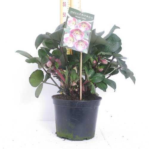 Helleborus Penny's Pink 19cm