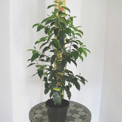 Portuguese Laurel Hedging Prunus Lusitanica