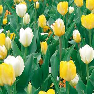 Tulip Bulbs Fosteriana Lemon Blizz 25 Per Pack