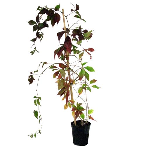 Cheap Virginia Creeper Cheap Parthenocissus Quinquefolia