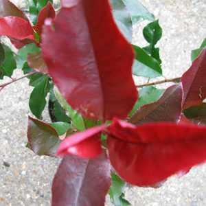 Photinia Fraseri Camilvy  (Hedging) 3ltr