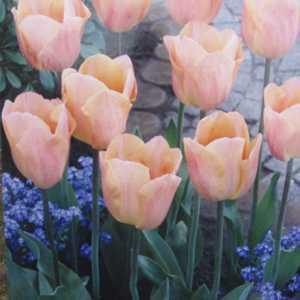 Tulip Bulbs Single Early Apricot Fox 10 Per Pack