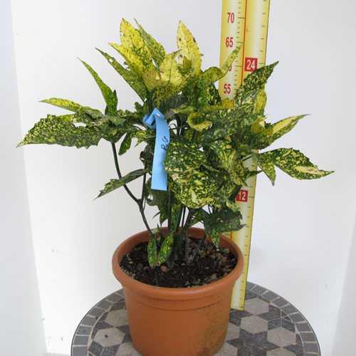 Aucuba Japonica Golden King (Japanese Laurel)