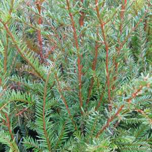 Taxus Baccata (English Yew) Rootball Hedging 60-80cm Height x 10 plants