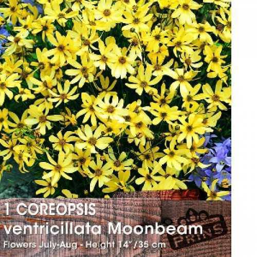Coreopsis Ventricillata Moonbeam