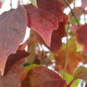 Boston Ivy (Parthenocissus Tricuspidata Veitchii)