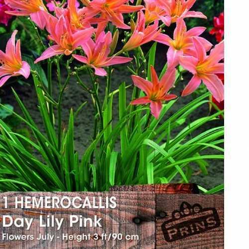 Hemerocallis Day Lily Pink Damask