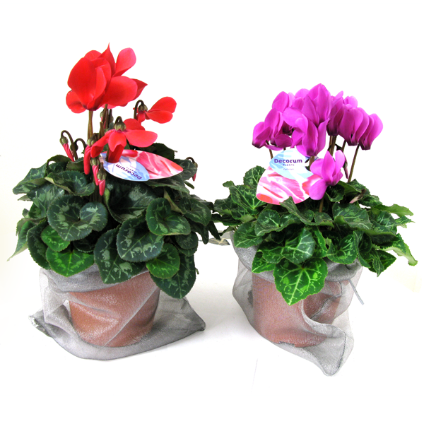 Cyclamen Potted in a Organza Bag - Christmas (Xmas) Gifts