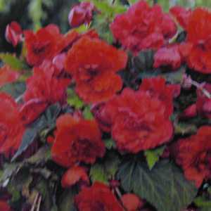 Fragrant Begonia Odorata Red Glory Bulbs 2 Per Pack
