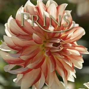 Dahlia Decorative Penny Lane Exotic Bulb 1 Per Pack